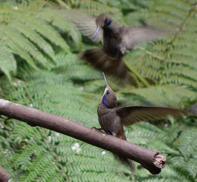 The hummingbirds all have amazing names like Brown Violetear (photo), Fawn-breasted Brilliant, Tawny-bellied Hermit, Tyrian Metaltail, Saphire-vented Puffleg, Shining Sunbeam, Black-tailed Trainbearer, …