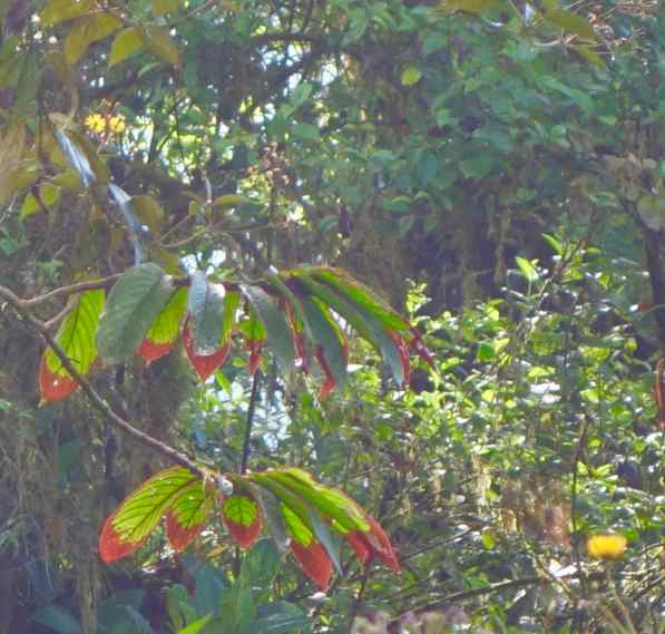 Marcelo told us the red tips on the leaves evolved to attract birds to pollinate the flower that was under the leaves.