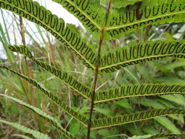Fern spore design on the underside of the leaf.