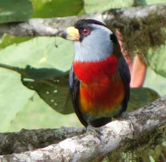 The Toucan Barbet flew in to a clearing with feedesr, always a good place to watch birds and get a few photos.
