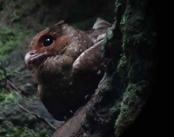One day we drove some distance to see some unusual species of birds, such as cock of the rock, but our favorite of the day were oilbirds in a grotto. The oilbirds perch on rock walls during most of the day and search for fruits at night. They fly using echolocation like bats. https://en.wikipedia.org/wiki/Oilbird