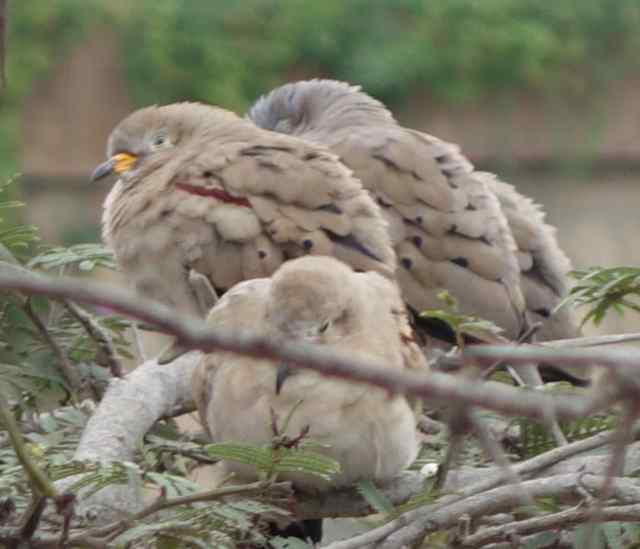 …birds for us to watch, like these croaking doves.