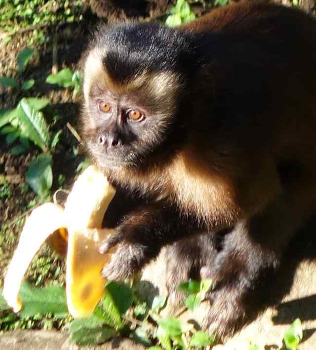 The park has 1,025 bird species (10% of the world's species) within the park; 221 species of mammals; 1,307 species of butterflies; 8 species of wild cats; 15 species of primates – like this large-headed capuchin monkey (photo).