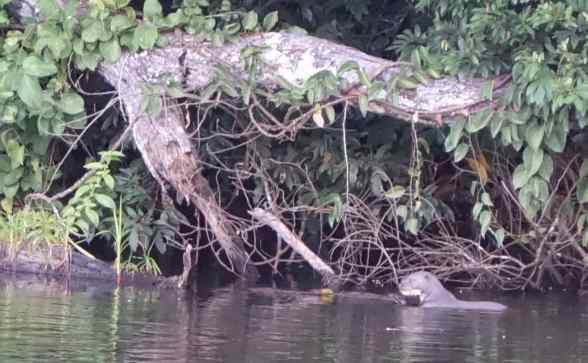 One otter cradled a huge fish in its paws. In a flash, a very large black caiman (related to an alligator) lunged at the otter and snatched the fish. A split second later the black caiman put his head up and the fish instantly disappeared down its throat.