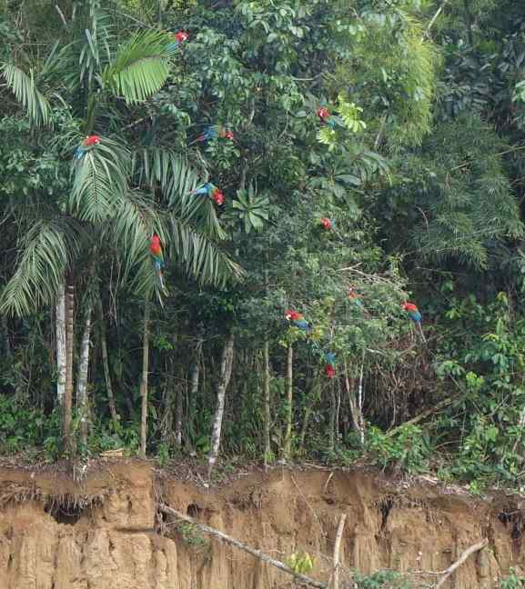 As the 4th hour of waiting approached, red and green macaws moved lower in the trees. We thought that any minute they would swoop down to the clay, but still, they were tentative.