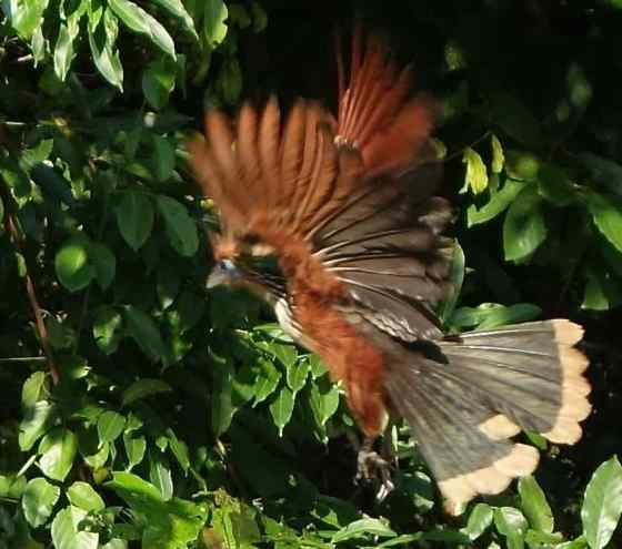 One of our favorite birds of the trip, a hoatzin, had been perched on a low branch above the water, but, when the raft drifted near, it clumsily took flight.