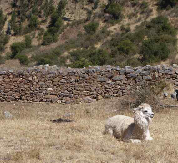 We had bushwacked for some time around the perimeter, and, when we saw what must be Pumamarca, we entered from the rear of the ruins only to be met by a llama (who must have seen all of this happen before).