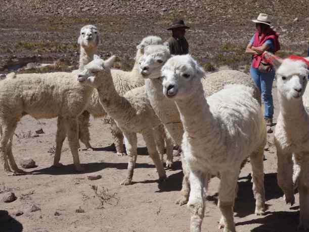 Another stop offered us the chance to see a herd of alpacas not far from the road. Our guide explained the economics of llama and alpaca to us, with white alpaca wool worth considerably more in the marketplace than all the others.