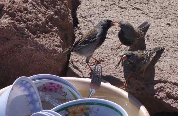 The condors appeared several times, but, with the jostling crowds, it was easier to appreciate the mourning sierra-finches gathered at a vendor's dishpan.