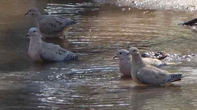 A flock of eared doves enjoyed a bath in a one of the ponds.