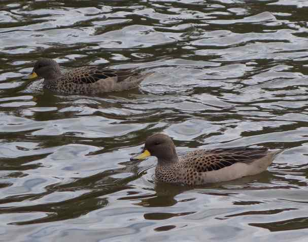 A large number of water birds reside at the pond. New to us were the yellow-billed (speckled) teal.