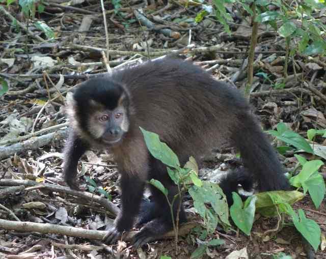 Monkey, Tufted Capuchin