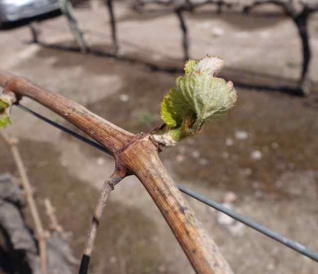 Our visit was the beginning of Spring in Argentina and the first buds had just appeared on the vines.