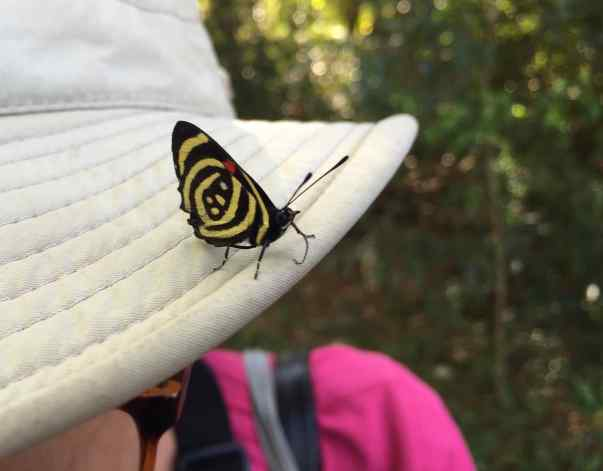 Butterflies were everywhere. We read that there are over 200 species. This Callicore hydaspes butterfly was our favorite. When it opens, the other side is an alarming bright blue, black, and red. The two sides don't really look at all like they'd be on the same butterfly. https://en.wikipedia.org/wiki/Callicore_hydaspes