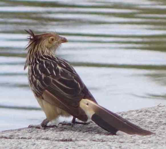 Cuckoo, Guira