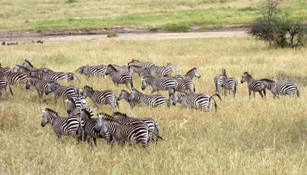 We'd never before seen a dazzle of zebras. Mark Thornton Safaris arranged it all for our friends and us.