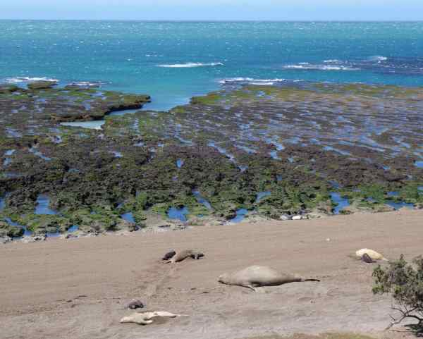 At Punta Norte we watched the sea lions sleeping on the beach at low tide. Had we been there at high tide, we might have seen the orcas (killer whales) that come to prey on the sea lions and sea elephants that use this beach as a breeding ground.
