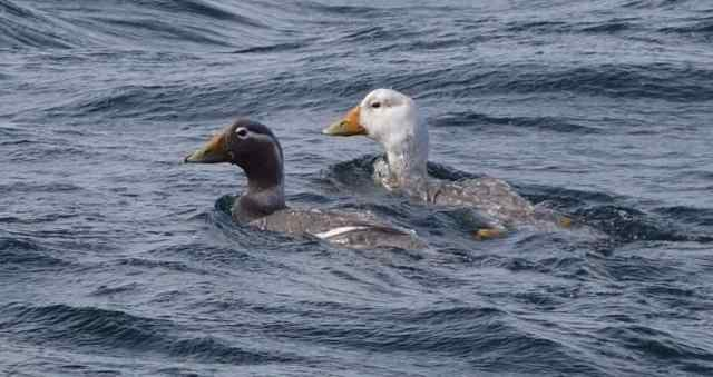 A pair of Chubut Steamer-ducks came close to the boat. Their range is limited to two very small areas along the Patagonian coast, so we counted ourselves lucky to see them.