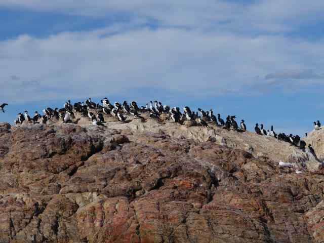 Two other species of cormorants – rock and imperial (also called blue-eyed) – made this island their home.