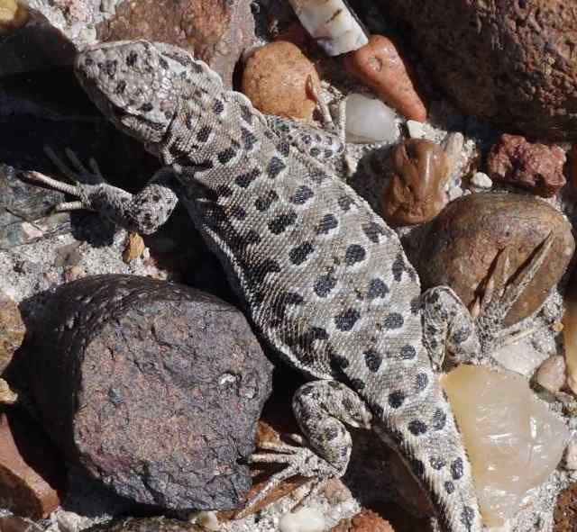 Here's a closeup to admire the lizard's skin coloration and to show how easily it blends into the rocky setting.