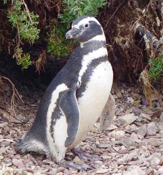 Large breeding colonies of Magellanic penguins (60,000 in breeding season) and lion seals (3,500 in breeding season) are two of the marine inhabitants.