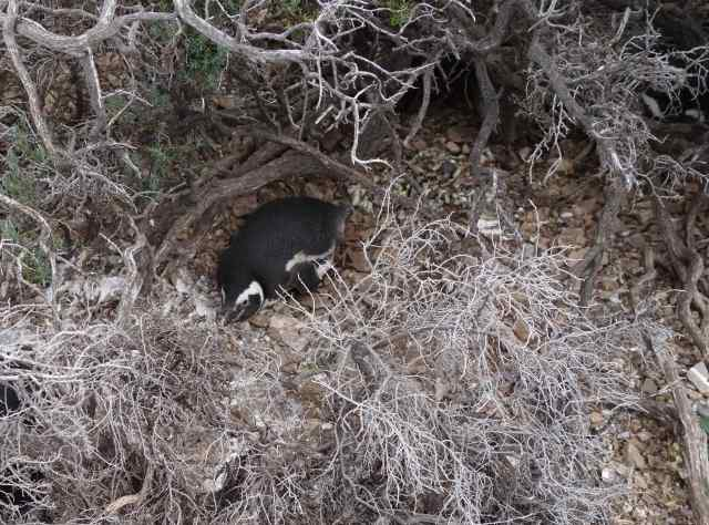 Most of the 80 pairs of Magellanic penguins nested under the brush.