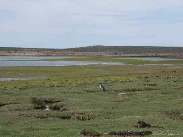 When we emerged from the brushy area, we saw a lone penguin working its way down to the sea.