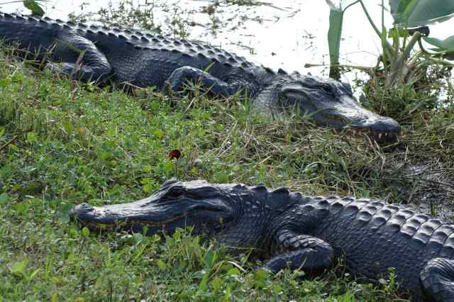 Everglades National Park in Florida, established in 1947, is well-known for its alligators.