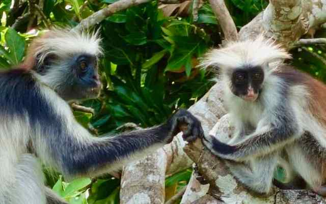 "Jozani National Park was established in 2004 to protect ""the largest remaining stand of near-natural forest on Zanzibar"" and the endemic Zanzibar red colobus monkey."
