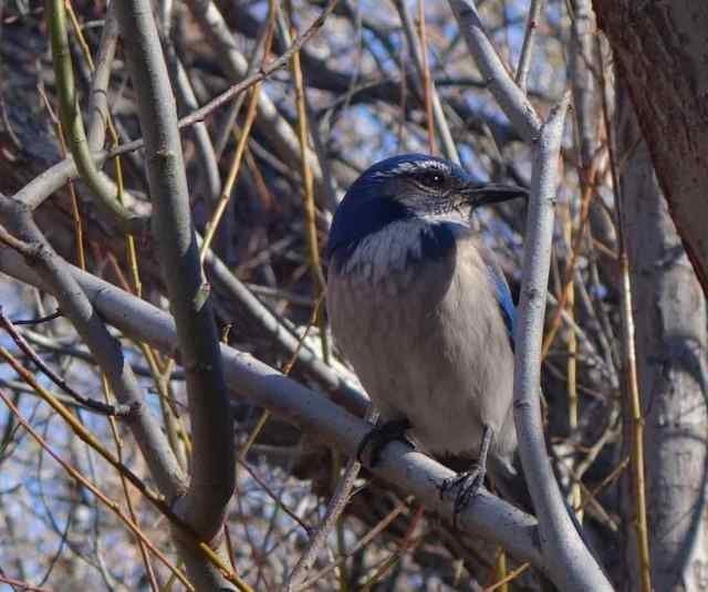 It took us by surprise when a California scrub-jay flew in and landed on a branch only a few feet away from us. Then it sat and posed obligingly for a photo.