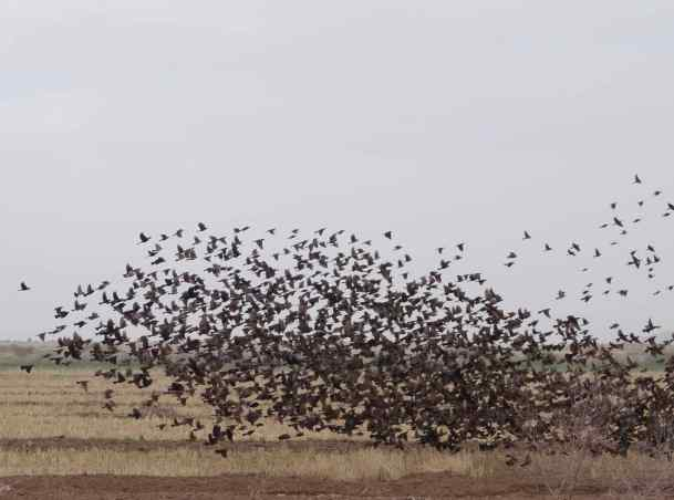 We watched the blackbirds for quite awhile as they settled in the field and then suddenly lifted off - almost as one - into the sky. A minute of soaring through the air and then they landed almost as one before repeating the cycle over and over.